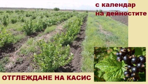 отглеждане на касис в България