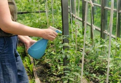 Растенията могат да се пръскат на всеки етап от растежа.
