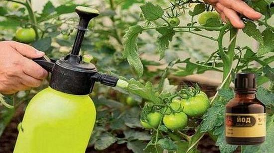 Пръскане на домати с йод