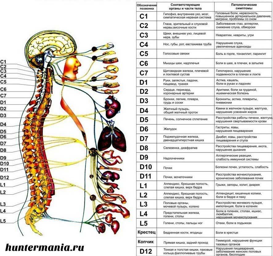 отношение на гръбначните прешлени и органите на тялото