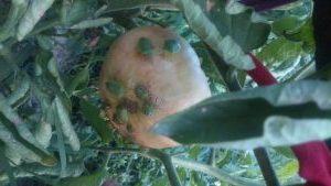 болести по доматите 0909