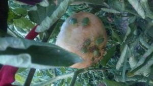 болести по доматите миризливка
