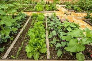 съвместимост на зеленчуците марули, таблица