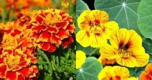 съвместимост на зеленчуците и цветята