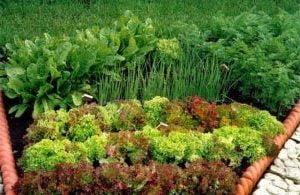съвместимост на зеленчуците смесена леха