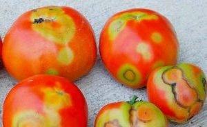 бронзовост по доматите