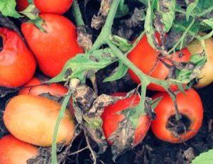 болести по доматите, алтернария, алтернариоза