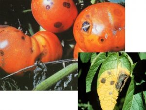 болести по доматите