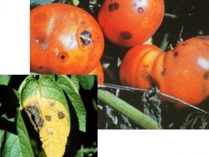 болести по доматите, антракноза