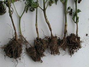 болести по доматите, гниене, сиво, кафяво и на корените