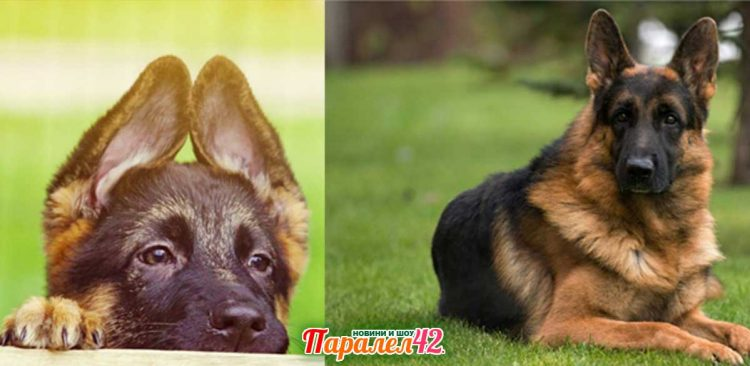 немска овчарка - порода кучета, цена