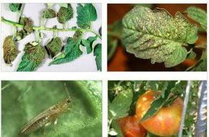 болести по доматите, столбур