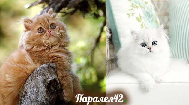 11-персийска котка