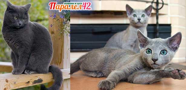 13 руска синя котка 01