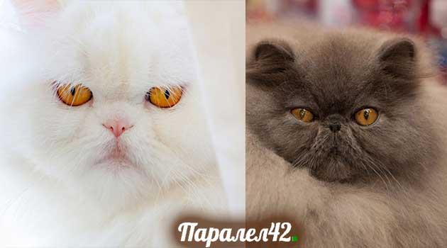 10-персийска котка