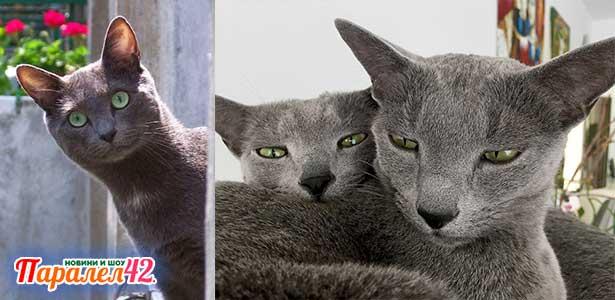 12 руска синя котка 01