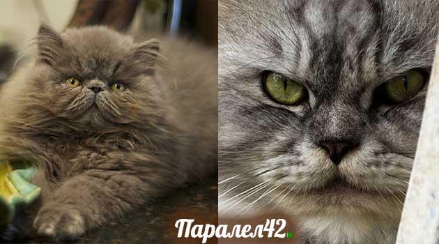 09-персийска котка