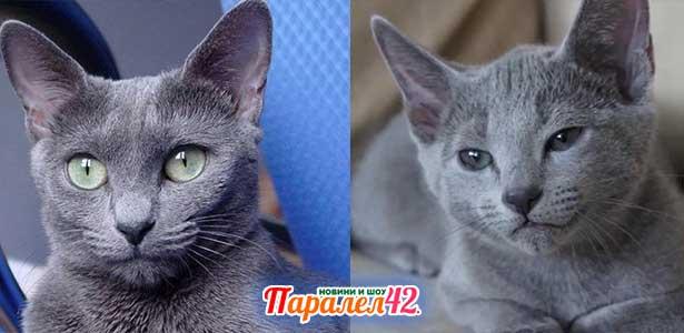 11 руска синя котка 01