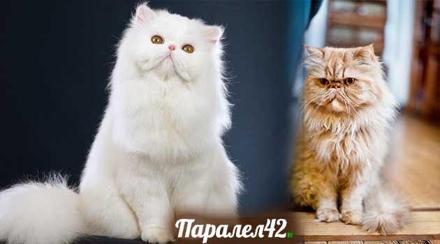 07-персийска котка