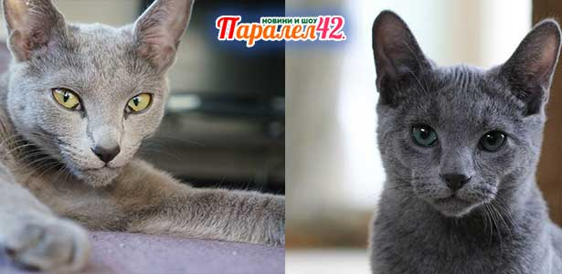 08 руска синя котка 01