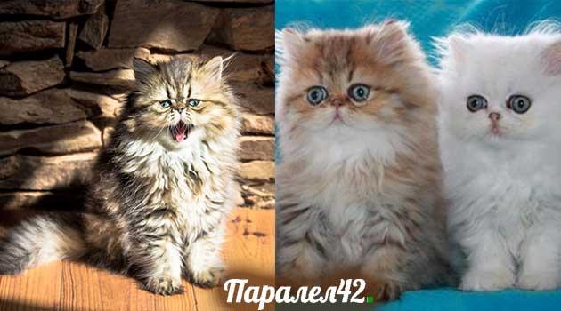 05-персийска котка