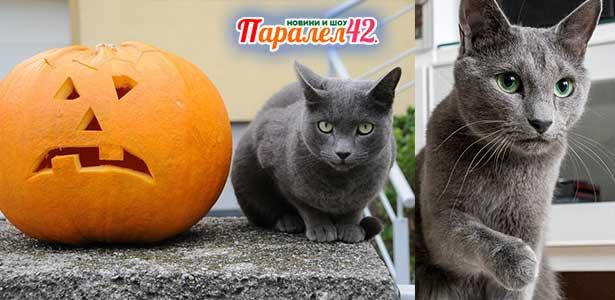 07 руска синя котка 01