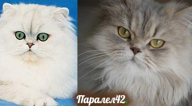 04-персийска котка