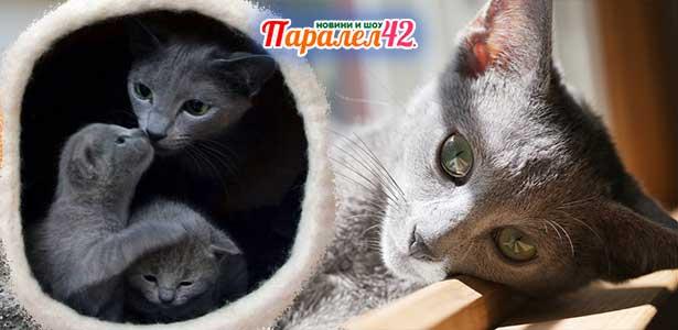 06 руска синя котка 01