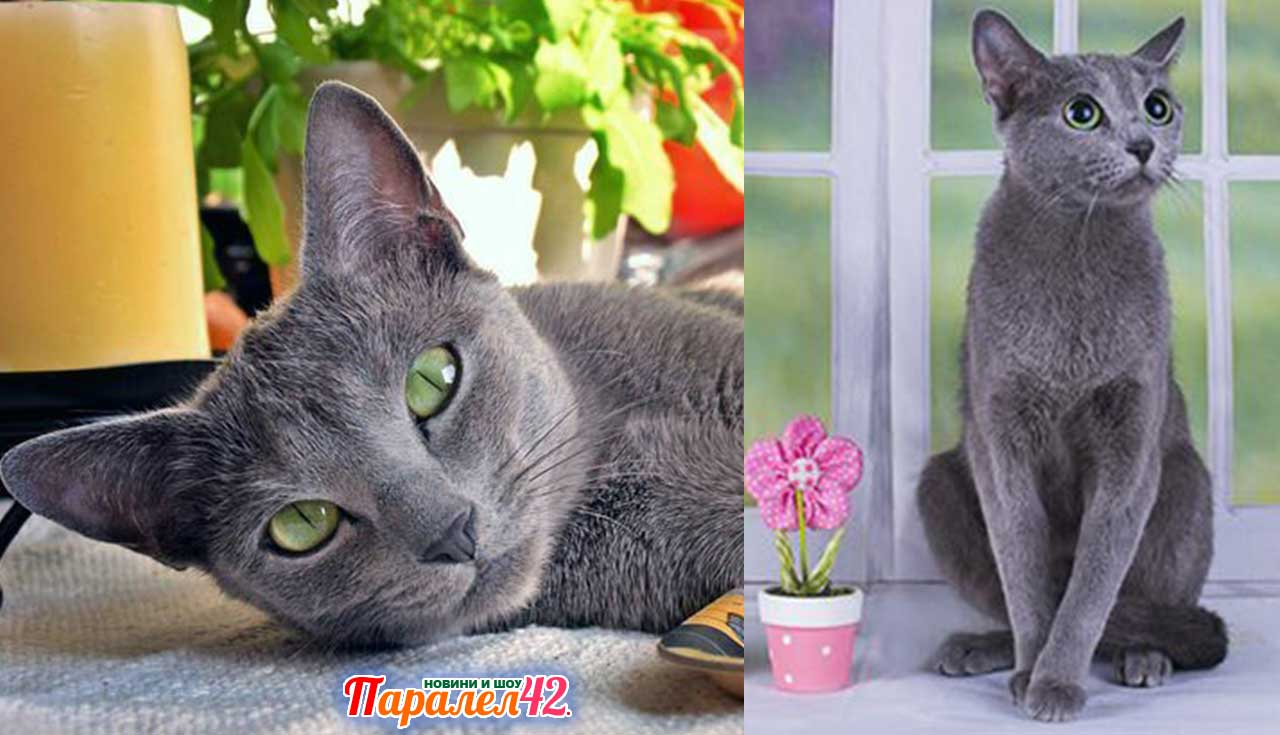 05 руска синя котка 01