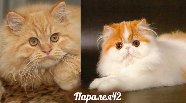 03-персийска котка