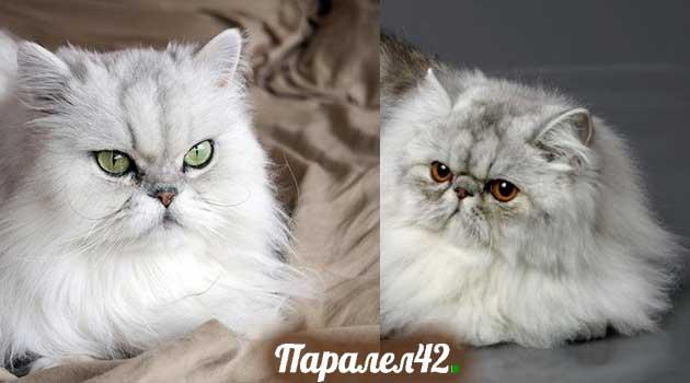 02-персийска котка