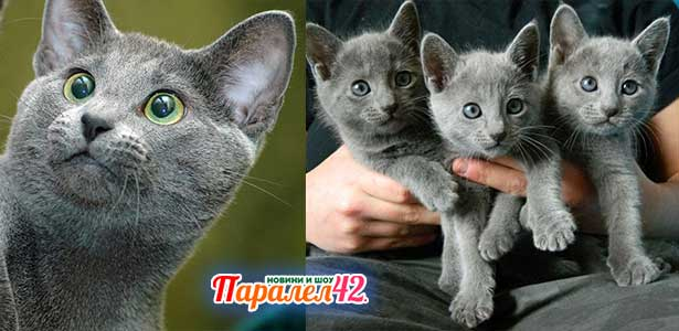 03 руска синя котка 01