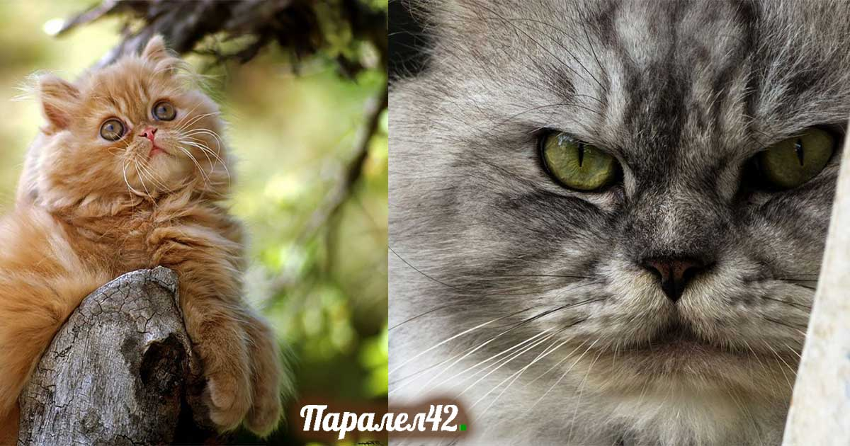 01-персийска котка