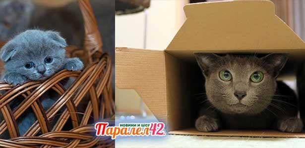 02 руска синя котка 01
