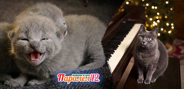 руска синя котка 01