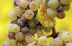 пръскане на лозята грозде, асма