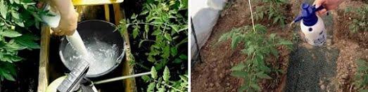 пръскане на домати с йод и мляко, подхранване, поливане