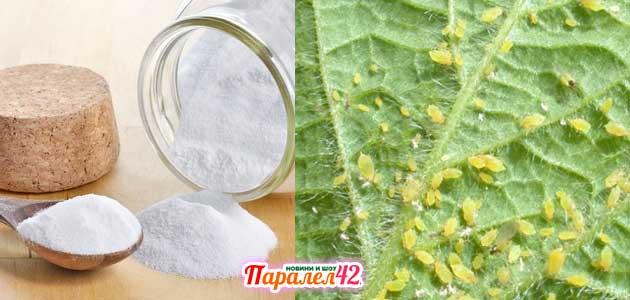 сода против листни въшки