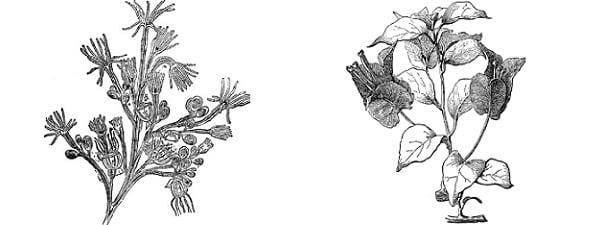 Отглеждане на бугенвилия