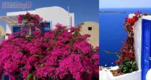 Правилното отглеждане на цвете бугенвилия на двора (градината) и в саксия.