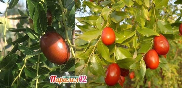 Разсад за едроплоден хинап, плод, компот, дръвче, цена