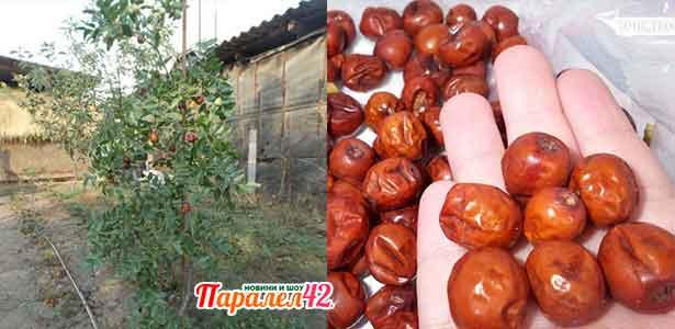 овощно дърво хинап, сушен плод на килограм, цена