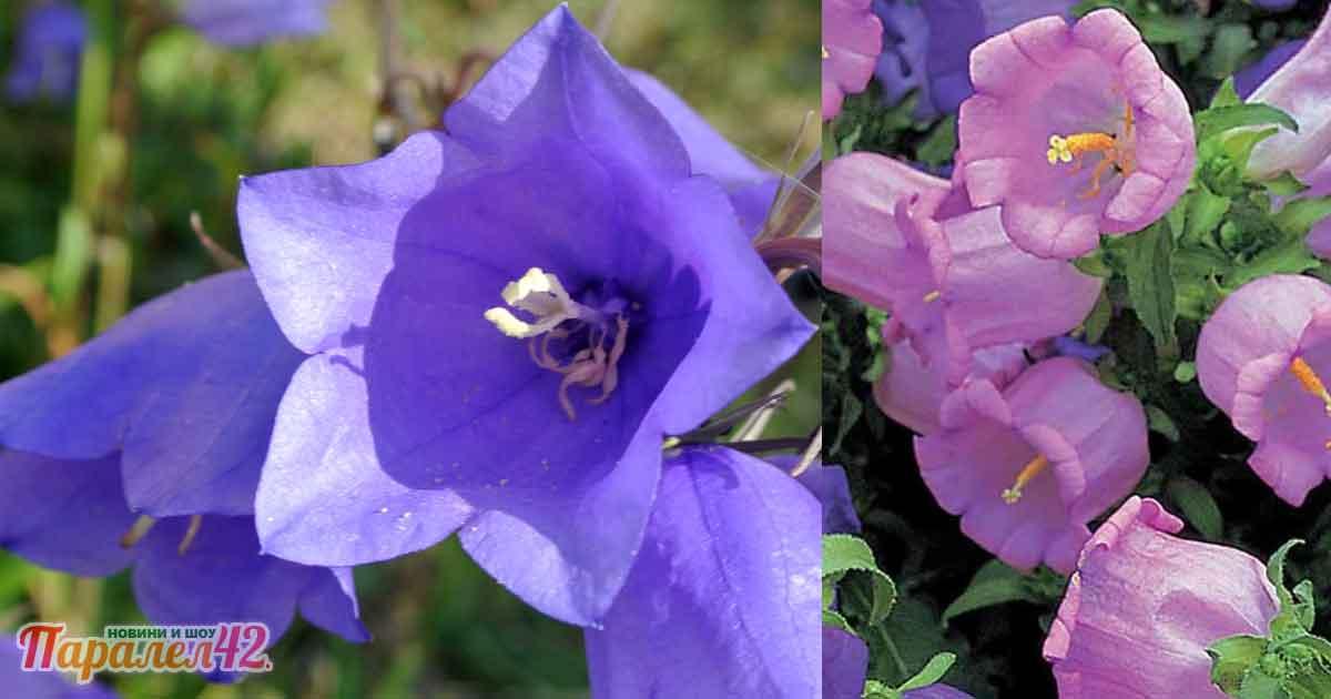 Какво е цветето кампанула (камбанка)? Как да го познаем + ботаническа рисунка На каква цена и откъде може да се вземе у нас? Къде продават разсад? Разсадници Обяви Семена