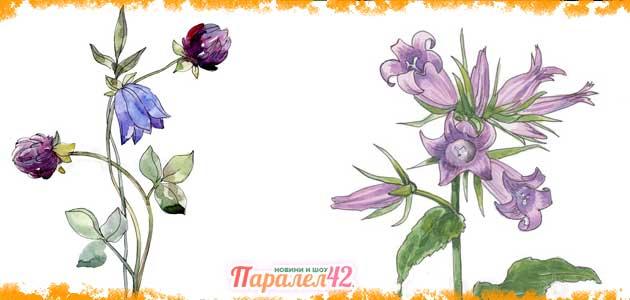 кампанула (камбанка) - ботаническа рисунка