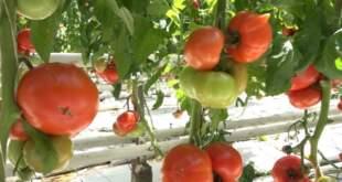 Кое е правилното профилактично пръскане на домати и краставици.