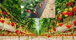 Отглеждане на ягоди. otglejdane-na-yagodi