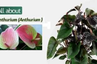 Как се осъществява правилното отглеждане на антуриум?